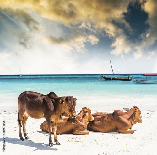 Three cows lying and sunbathing near the ocean shore, bright daylight, yacht on Poster