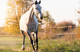Beautiful arabian horse run gallop in flower meadow - 180975819