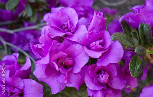 Fotobehang Azalea Azalea (Rhododendron)