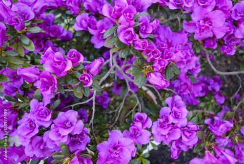 Plexiglas Azalea Azalea (Rhododendron)