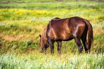 Wild stallion grazing on summer meadow