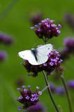 A Large White butterfly on a Verbena Bonariensis - 180997414
