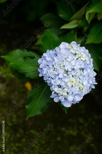 Fotobehang Hydrangea Close-up blue hortensia flower blooms in garden