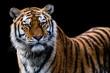 tiger vor scharzem hintergrund