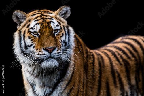 Fotobehang Tijger tiger vor scharzem hintergrund