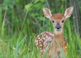 Whitetail fawn in the grass - 181012606