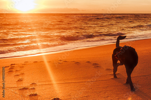 Poster Oranje eclat walk at beach with black lab