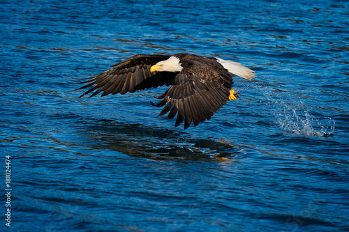 Plexiglas Eagle Eagle in Flight, Alaska