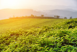 Beautiful green tea leaves at tea plantation at sunset - 181026889