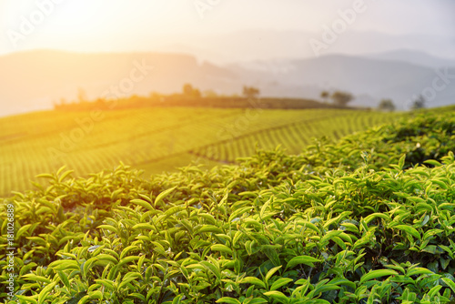 Beautiful green tea leaves at tea plantation at sunset