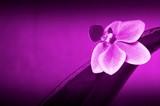 Fototapety Edle Orchidee in Purpur, Beauty, Luxus