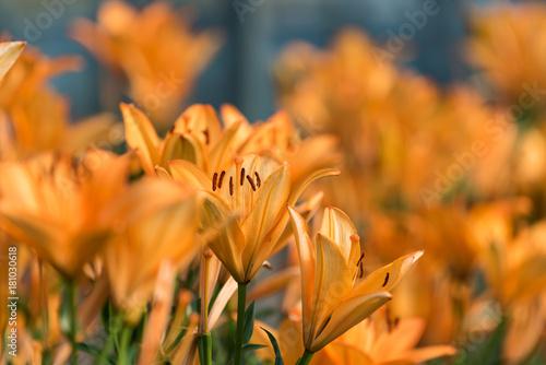 オレンジ色のユリの花 Poster