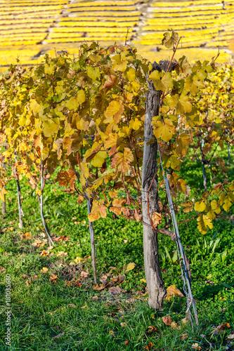 Fotobehang Wijngaard Herbstlich verfärbte Weinreben
