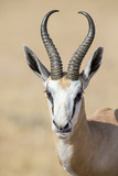 Portrait close-up of a beautiful prime springbok male