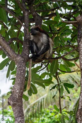 Foto op Aluminium Zanzibar красный занзибарский колобус сидит на дереве