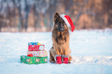 German shepherd dog with christmas hat and gifts
