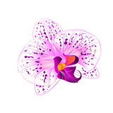 Purple and white Orchid Phalaenopsis flower closeup on a white background vintage  vector  illustration editable hand draw