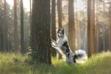 Dog border collie on a walk in the woods