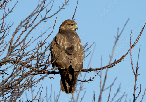 Common buzzard sits in thick branches against the blue sky Poster
