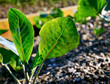 Young cabbage plant with green leaves