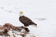 Bald Eagle on a Deer Carcass in the Winter