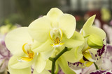 Grean orchid