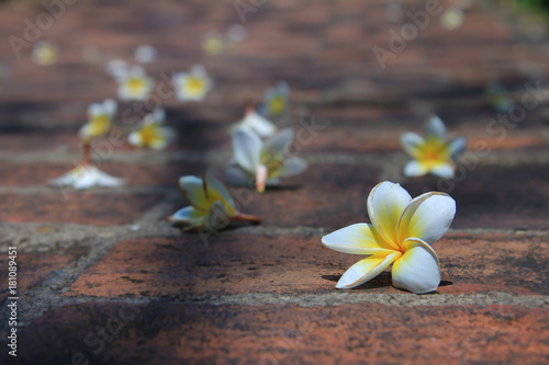 Fotobehang Plumeria plumeria is drop scattered about on floor in morning time,close up many white flower on pathway in park