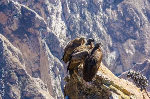 Three Condors at Colca canyon sitting,Peru,South America Poster