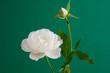 緑背景の白いバラ