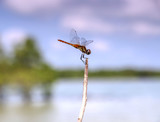 Dragonfly rests on a twig near the ocean, Thailand - 181099845