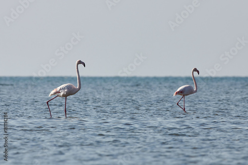 View of pink flamingos in Evros, Greece. - 181114284