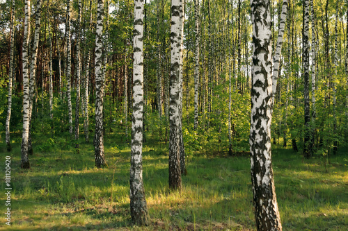 Papiers peints Bosquet de bouleaux Birch forest. Birch Grove. White birch trunks