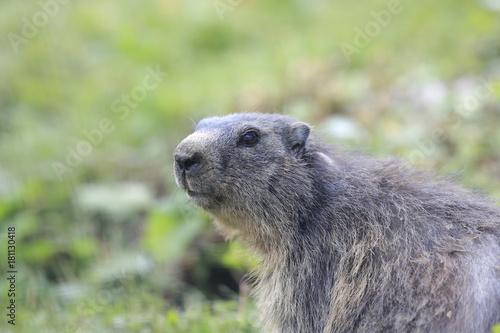 Murmeltier Portrait in den Alpen, Marmota marmota Poster