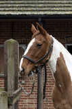 Portait of a skewbald horse wearing a bridle tied to a stable yard post. November 2017. - 181131248