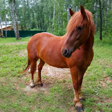 horse grazing in meadow near forest