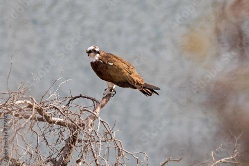 Plexiglas Eagle Bird osprey on tree limb perch overlooking valley