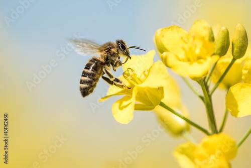 Leinwandbild Motiv Bee collects honey - rape blossom in spring