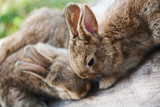 Two fluffy brown rabbits, close-up, shallow depth of field, selective focus. Easter bunny concept. - 181162884