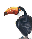 Toucan tropical bird big beak colorful bird watercolor painting illustration isolated on white background