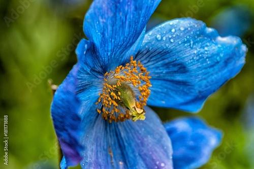 Plexiglas Iris Mavi cicek