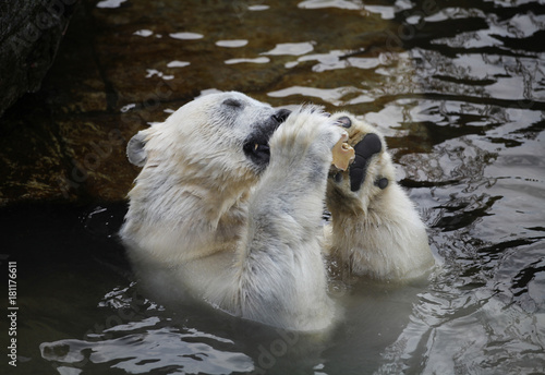 Plexiglas Ijsbeer Polar bear in zoo