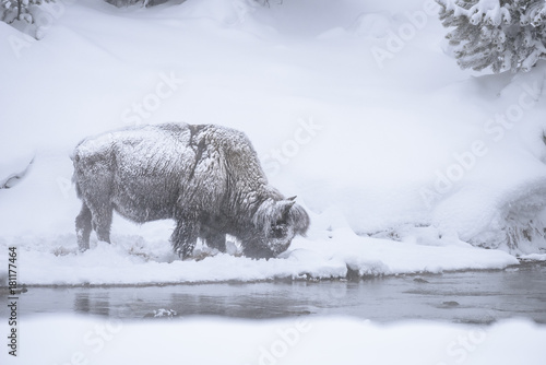 Plexiglas Bison Snow Covered Bison - Yellowstone National Park
