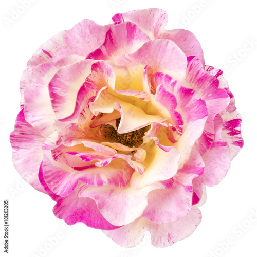 Pink and White Rose Flower Top View Isolated