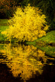 Tree with yellow fall foliage reflects in a pond in Seattle's Washington Park Arboretum botanical Garden - 181210270