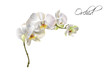 Orchid realistic illustration