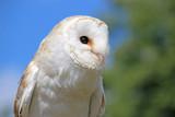Barn Owl - 181226894