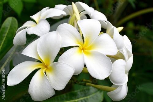 Fotobehang Plumeria White Magnolia flowers. Indonesia