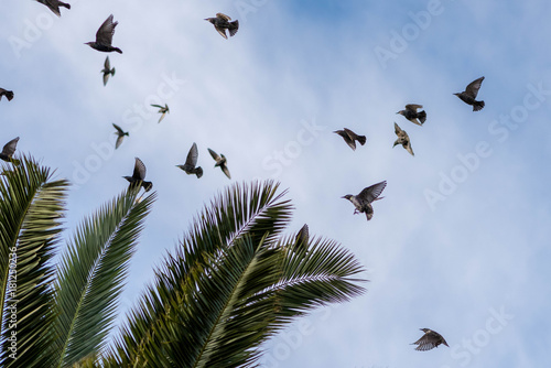 starlings migratory birds flew south Poster