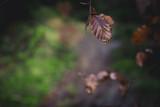 Fototapeta Fototapety góry  - Einzelnes Laubblatt,Im Harzer Wald © Harzfoto