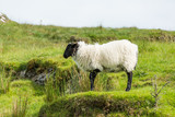 Landscapes of Ireland. Sheep grazing, Connemara in Galway county - 181258682